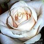 Creamy Rose IIi Poster