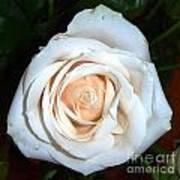 Creamy Rose Iv Poster