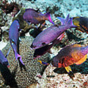 Creole Wrasse At A Cleaning Station Poster