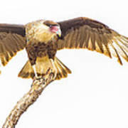 Crested Caracara Taking Off Poster