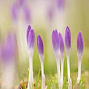 Crocus Flowers (crocus Tommasinianus) Poster