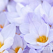 Crocus Flowers Poster