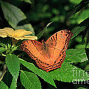 Cruiser Butterfly Poster