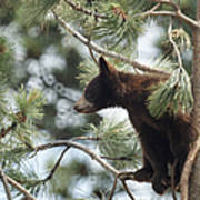 Cub In Tree Poster
