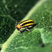 Cucumber Beetle Poster