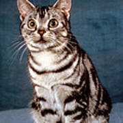 Curious American Shorthair Poster