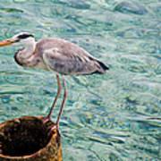 Curious Heron. Maldives Poster