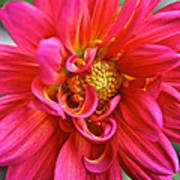 Curly Dahlia Poster
