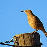 Curved Billed Thrasher Sitting On A Post Poster