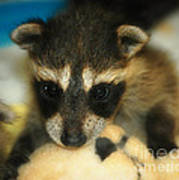Cute Face Behind The Mask Baby Raccoon Poster