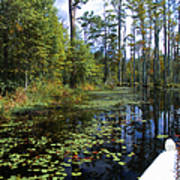 Cypress Swamps And Black Water Poster