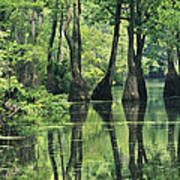 Cypress Trees Cross A Waterway Poster