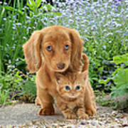 Dachshund And Tabby Poster