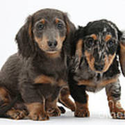 Dachshund Puppies Poster