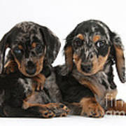 Dachshund Pups Poster