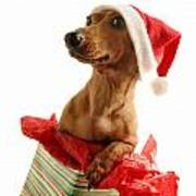 Dachshund Wearing A Santa Hat Poster