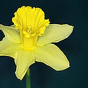 Daffodil Poster