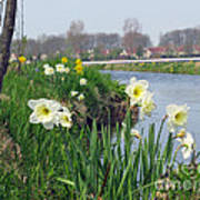 Daffodils In Holland 01 Poster