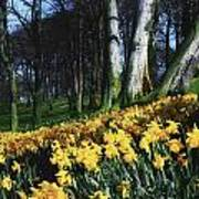 Daffodils Narcissus Flowers In A Forest Poster
