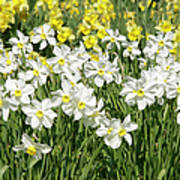 Daffodils (narcissus Sp.) Poster