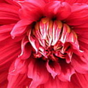 Dahlia In Red Poster