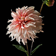 Dahlia With Bud Poster