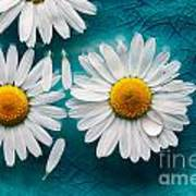 Daisies Floating In Water Poster