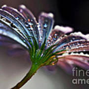 Daisy Abstract With Droplets Poster