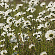 Daisy Fields Forever - Alabama Wildflowers Poster