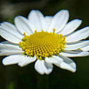 Daisy On Green Poster
