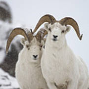 Dall Sheep Ovis Dalli Rams, Yukon Poster