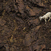 Dall Sheep Were Is Very Adapt Poster