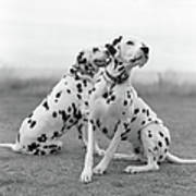 Dalmatians Poster