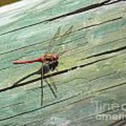 Damselfly ready for liftoff Poster