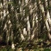 Dancing Birches Poster