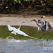 Dancing Egrets Poster