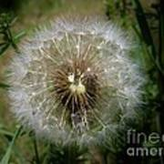 Dandelion Going To Seed Poster