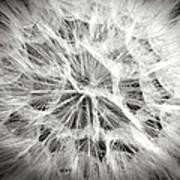 Dandelion In Black And White Poster