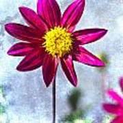 Dark Pink Dahlia On Blue Poster