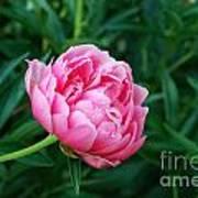 Dark Pink Peony Flower Series 2 Poster