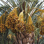 Date Palm In Fruit Poster