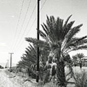 Date Palms On A Country Road Poster