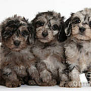 Daxiedoodle Poodle X Dachshund Puppies Poster by Mark Taylor