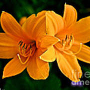 Daylily Duo Poster