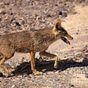 Death Valley Coyote Poster