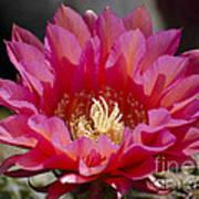 Deep Pink Cactus Flower Poster
