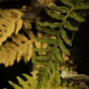 Deep Woods Fern Poster