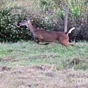 Deer At Viera Poster