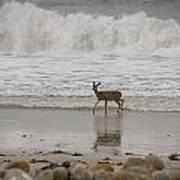 Deer In Ocean Surf Poster