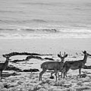 Deer On Beach Black And White Poster